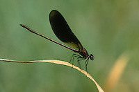 Bronzene Prachtlibelle, Braune Prachtlibelle,  Rote Prachtlibelle, Männchen, Calopteryx haemorrhoidalis, Calopteryx haemorrhoidale, copper demoiselle, male, le Caloptéryx méditerranéen