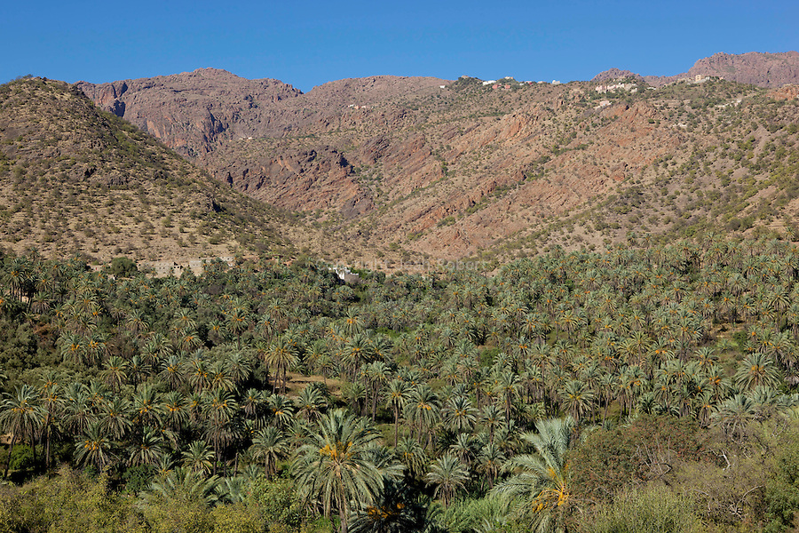 palmeraie de Targa n'Touchka .palm tree oasis of Targa n'Touchka