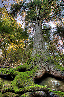 Low-angle view of Eastern Hemlock (Tsuga canadensis) growing amongst boulders in the Hocking Hills region, Hocking State Forest, Ohio, USA