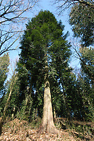 Lawson's Cypress Chamaecyparis lawsoniana Cupressaceae Height to 40m. Dense conical evergreen. Trunk often forked. Bark Cracks into vertical greyish plates. Branches Numerous. Leaves Scale-like, to 2mm long, flattened along shoot, in opposite pairs; parsley-scented. Reproductive parts Male flowers are cones, to 4mm long. Female cones, to 8mm across, have 4 pairs of scales. Status Native of western USA, widely planted here. Numerous cultivars exist with different with leaf colours.