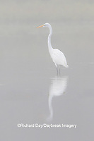 00688-02409 Great Egret (Ardea alba) in wetland in fog, Marion Co., IL