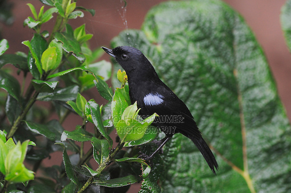 Glossy Flower-piercer (Diglossa lafresnayii), adult,Ecuador, Andes, South America