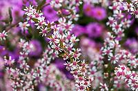 Symphyotrichum lateriflorum 'Lady in Black' Calico Aster (aka Aster lateriflorus Michaelmas Daisy) flowering at Denver Botanic Garden