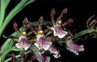 Stock Orchid Images | Zygopetalum