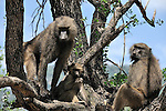 Baboons in East  Africa perched in a tree.