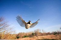 black-capped chickadee, Poecile atricapillus, in flight, Nova Scotia, Canada