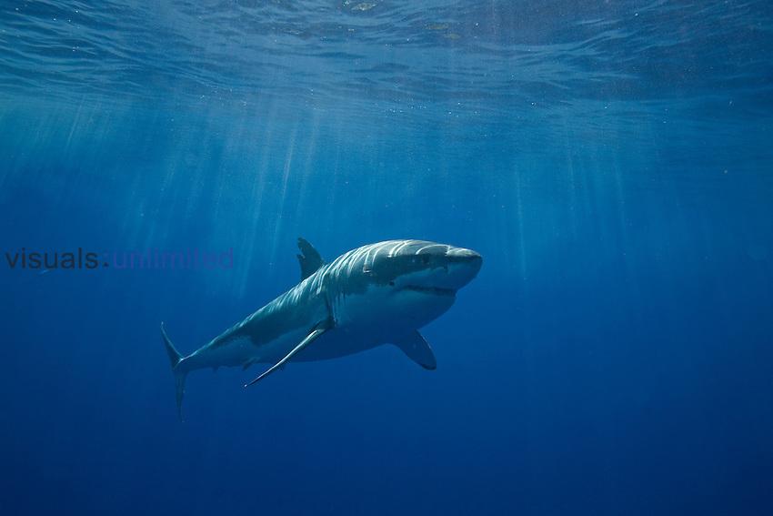 white shark, Carcharodon carcharias, Guadalupe Island, Baja California, Mexico