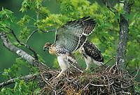 Red-tailed Hawk nestlings excercise before fledging.