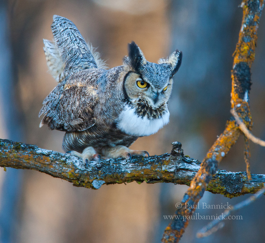 With his ears up, head jutting forward, and throat full of air, a calling Great Horned Owl appears to pump the &ldquo;hoos&rdquo; out of his body with the<br /> up and down motion of his tail.