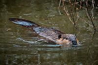 An beaver at Sequoyah National Wildlife Refuge in Oklahoma.