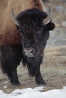 35-M8-BS-067    BISON (Bison bison) displaying massive head which aids in foraging through winter snow, Upper Geyser Basin,Yellowstone National Park, Wyoming, USA.