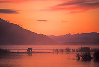 Coastal brown bear wades in the brooks river at sunrise in Katmai National Park, Alaska.