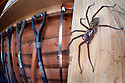 House Spider female {Tegenaria sp.} in garden shed. Derbyshire, UK, March. Highly Commended in the URBAN WILDLIFE category of the 2015 British Wildlife Photography Awards.