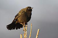 Adult male Rusty Blackbird (Euphagus carolinus) in breeding plumage. Seward Peninsula, Alaska. May.