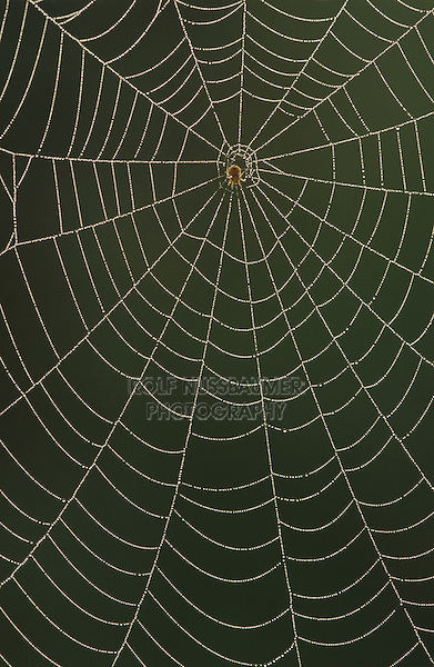 Spider Web, web with dew, The Inn at Chachalaca Bend, Cameron County, Rio Grande Valley, Texas, USA, May 2004
