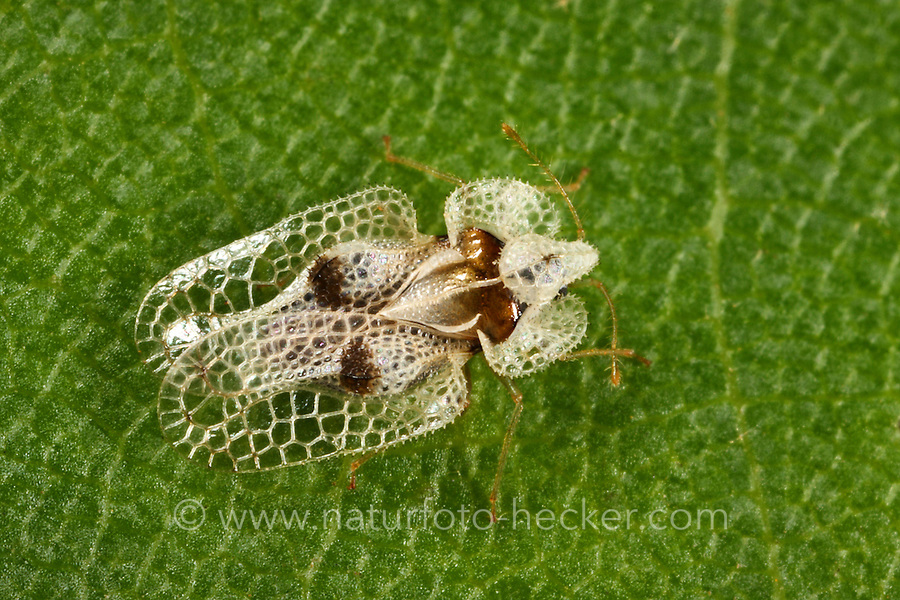 Platanen-Netzwanze, Platanennetzwanze, Platanen-Gitterwanze, Platanengitterwanze, Corythucha ciliata, sycamore lace bug, Netzwanzen, Gitterwanzen, Tingidae, lace bugs