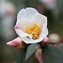 Camellia 'Cornish Snow' (cuspidata x saluenensis), mid March.