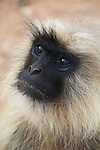 Grey langurs are also known as Hanuman langurs after the Hindu monkey god.