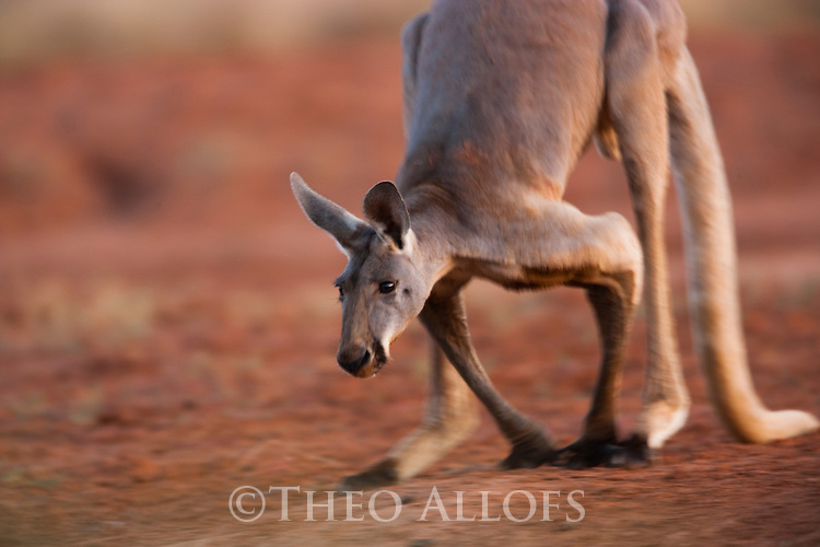 Australia,  NSW, Sturt National Park; red kangaroo male hopping (Macropus rufus); the red kangaroo population increased dramatically after the recent rains in the previous 3 years following 8 years of drought