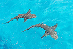 Tiger Beach, Grand Bahama Island, Bahamas; a pair of lemon sharks swimming at the water's surface, viewed from the top deck of the boat