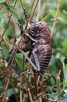 Sattelschrecke, Weibchen frisst alte Haut nach Häutung, Bradyporus dasypus, female