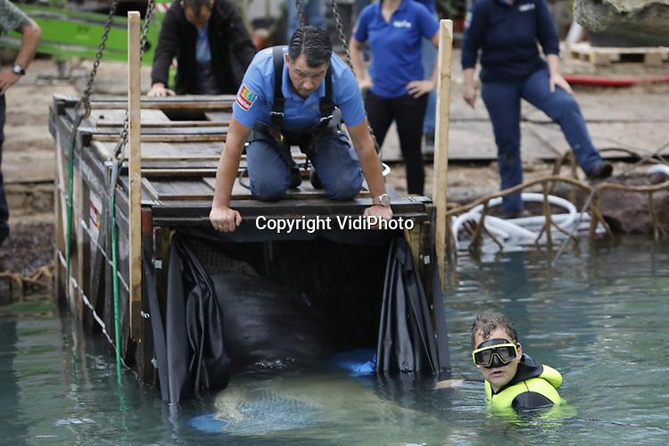 Foto: VidiPhoto<br /> <br /> ARNHEM - De eerste dieren hebben donderdag een onderkomen gekregen in de gloednieuwe Mangrove van Burgers' Zoo in Arnhem. De drie enorme Caribische zeekoeien zijn verplaatst van Burgers' Bush naar Burgers' Mangrove, een ecodisplay met maar liefst 1 miljoen liter water. Met behulp van een tiental medewerkers en een speciaal ontworpen transportkist werden de dieren eerste gevangen in het water met een net en vervolgens een voor een naar de Mangrove gereden. Met 3000 vierkante meter bezit Burgers' Zoo vanaf 13 juli (de offici&euml;le opening) de grootste overdekte Mangrove ter wereld. De zeekoeien die donderdag zijn verplaatst wegen tussen de 200 kilo (jong vrouwtje) en 600 kilo (volwassen dier). Het zijn de duurste kostgangers van het park: ze eten 25 kilo andijvie per dier per dag