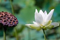 MUS, Mauritius, Pamplemousses: Sir Seewoosagur Ramgoolam Botanischer Garten - Lotosbluete | MUS, Mauritius, Pamplemousses: Sir Seewoosagur Ramgoolam Botanic Garden - Lotos