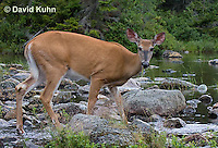 0623-1030  Northern (Woodland) White-tailed Deer Eating Wetland Grass, Odocoileus virginianus borealis  © David Kuhn/Dwight Kuhn Photography