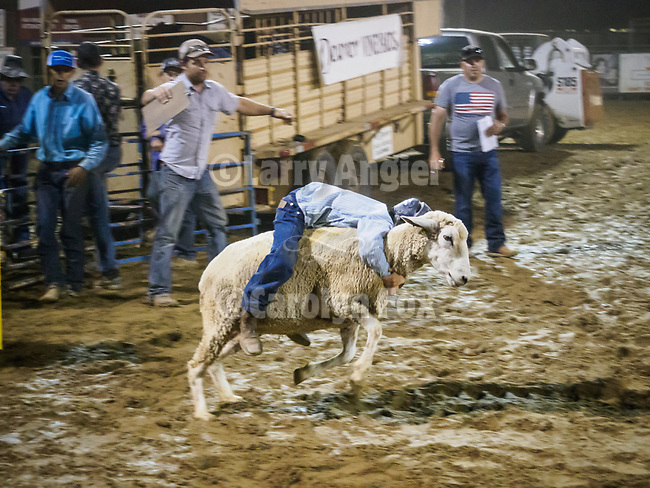 Mutton Bustin' finals during the rodeo<br /> <br /> Saturday, Day 3 of the 79th Amador County Fair, Plymouth, Calif.<br /> <br /> Local cowboy ranch rodeo, livestock beauty pageant, youth tractor rodeo, Mutton Bustin' finals<br /> <br /> <br /> #AmadorCountyFair, #PlymouthCalifornia,<br /> #TourAmador, #VisitAmador