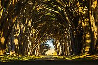 "The beautiful Cypress Tunnel at Point Reyes National Seashore that a park ranger said is ""just a driveway."""
