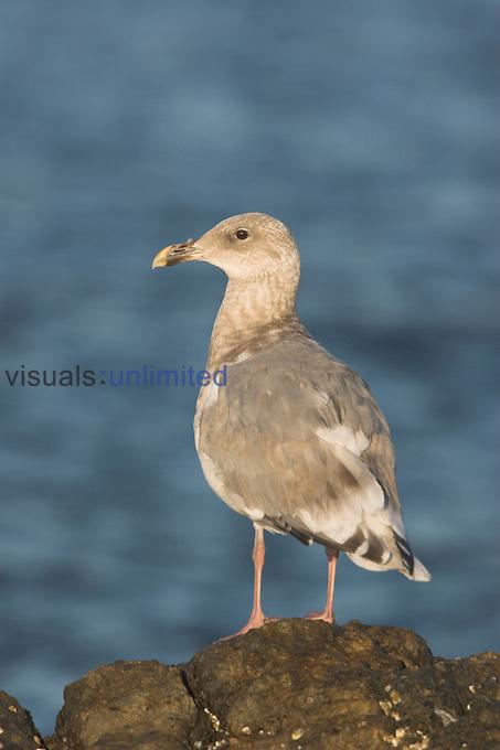 Glaucous-winged Gull (Larus glaucescens) in Victoria, British Columbia, Canada.