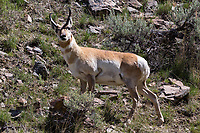 North American pronghorn (Antilocapra americana) in Yellowstone National Park. Pronghorn are a species of special concern in the park and counts in 2016 showed a population of 466 which was the highest count since 1992 of a population that was once counted in the thousands in the Yellowstone area.