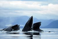 humpback whales bubble-net feeding, Megaptera novaeangliae, Alaska, USA, Pacific Ocean
