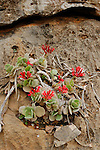 A Kalanchoe (Kalanchoe farinacea) plant growing on the rocks, Crassulaceae, Socotra, Yemen.