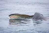 Fin Whale Balaenoptera physalus lunge feeding on Krill Thysanoessa inermis showing baleen and wide open mouth Spitsbergen Arctic Norway North Atlantic