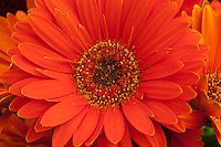 Daisy flower, Gerbera jamesonii 'Festival Orange with Eye'