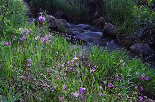 Darkthroat Shootingstar, Dodecatheon pulchellum,flowers in habitat next to creek,Rocky Mountain National Park, Colorado, USA, June 2007