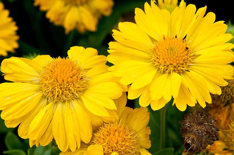 Blanket flower (Gaillardia x grandiflora 'Mesa Yellow' syn. G. aristata x G. pulchella), mid August. http://www.fleuroselect.com/goldmedal/details.aspx?id=1080&lang=en
