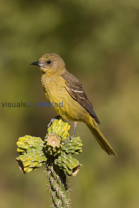 Scott's Oriole female (Icterus parisorum) on a Cholla Cactus, Sonoran Desert, Arizona, USA.
