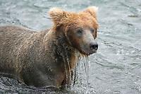 Brown bear (grizzly bear) , Brooks River, Katmai National Park, Alaska, Ursus arctos middendorffi, Alaska, USA