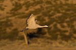 This Sandhill Crane has just left its overnight roosting location on its way to feed in nearby cornfields, Bosque del Apache National Wildlife Refuge, New Mexico, December 17,  2007.  Photo by Gus Curtis