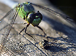 Closeup of a Dragonfly having a meal on the railing of the Boardwalk in the Esopus Bend Nature Preserve, in Saugerties, NY, on Monday, September 4, 2017. Photo by Jim Peppler. Copyright/Jim Peppler-2017.