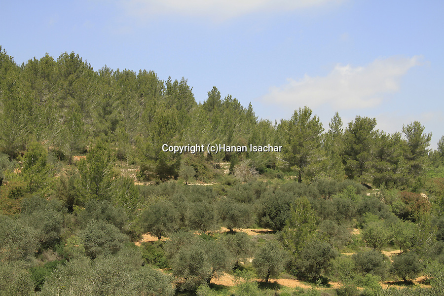 Israel, Jerusalem mountains, Olive and Pine trees on Mount Heret