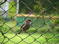 A beautiful house sparrow in the garden clinging to an elegant iron fence clasping its wire with legs.