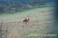 Africa, Swaziland, Malkerns. Milwane Nature Reserve game drive, impala.