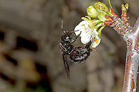 Violet Carpenter Bee - Xylocopa violacea