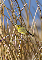 Warbler - Other