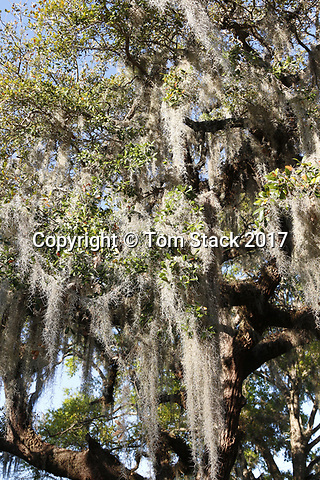 Spanish Moss draped from trees in Crystal River National Wildlife Refuge, Florida