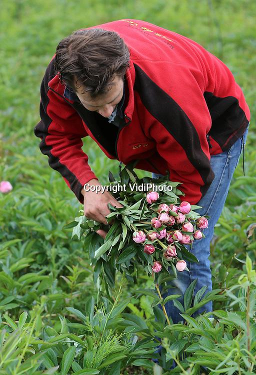Foto: VidiPhoto<br /> <br /> WAARDENBURG - Bloemenkweker Rijk de Jongh uit Tuil oogst op een perceel bij Waardenburg woensdag de laatste pioenrozen van het seizoen. Pioenen zijn schaars op dit moment, doordat de oogst enkele weken eerder is afgelopen. Oorzaak is het warme voorjaar. Pioenrozen is voornamelijk een buitenoogst.