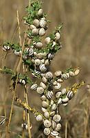 banded snails aestivating<br /> Cernuella virgata